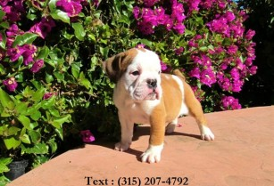 lovely bulldog puppy for sale
