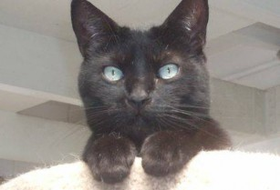 Beautiful Black Cat — RESCUED Girl — With Cattitude! (dublin / pleasanton / livermore)