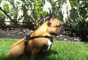 Franch Bulldog stud service (san jose west)