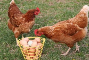 CHICKENS & EGGS**ORGANIC Laying hens (lake county)