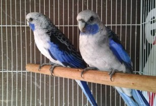 Blue Rosella Parrot Birds Male + Female Pair (san jose east)